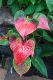 ζωηρόχρωμο λουλούδι spadix Στοκ Εικόνες