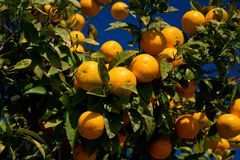 Ζωηρόχρωμο πορτοκαλί δέντρο Arcos de στο Λα Frontera Στοκ φωτογραφία με δικαίωμα ελεύθερης χρήσης