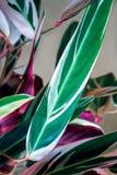 Ζωηρόχρωμο πράσινο και πορφυρό φύλλο Calathea στο υπόβαθρο χρώματος κρέμας Ornata ριγωτό Calathea, τροπικό φύλλωμα Calathea στοκ φωτογραφία με δικαίωμα ελεύθερης χρήσης