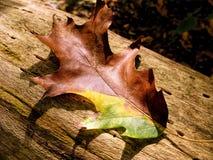 Ζωηρόχρωμο δρύινο φύλλο το φθινόπωρο Στοκ Φωτογραφία