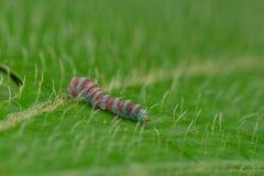 Ζωηρόχρωμο σκουλήκι ομορφιάς στο φύλλο στοκ εικόνες