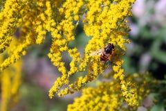 Ζωηρόχρωμο στιγμιότυπο κινηματογραφήσεων σε πρώτο πλάνο μιας μέλισσας που συλλέγει τη γύρη στοκ εικόνες