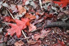 Ζωηρόχρωμο τοπίο φθινοπώρου πτώσης στο δασικό έδαφος, νεκρά φύλλα στο κόκκινο εκλεκτικό χρώμα Στοκ Εικόνες
