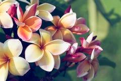 Ζωηρόχρωμο τροπικό λουλούδι frangipani, φρέσκια άνθιση λουλουδιών plumeria Στοκ Εικόνες
