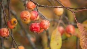 Ζωηρόχρωμο υπόβαθρο φθινοπώρου με τα μήλα σε έναν κλάδο Στοκ εικόνες με δικαίωμα ελεύθερης χρήσης