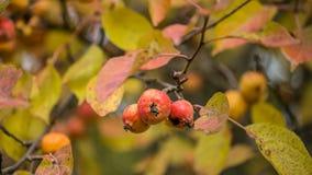 Ζωηρόχρωμο υπόβαθρο φθινοπώρου με τα μήλα σε έναν κλάδο Στοκ Εικόνες
