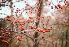 ζωηρόχρωμο φθινόπωρο στα ξύλα Άγρια μούρα κραταίγου Στοκ φωτογραφία με δικαίωμα ελεύθερης χρήσης