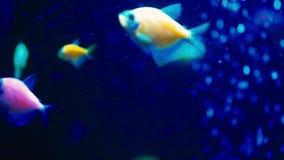 Ζωηρόχρωμο φθορισμού danio glofish σε σε αργή κίνηση στο ενυδρείο φιλμ μικρού μήκους