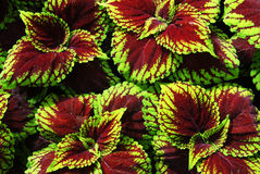 ζωηρόχρωμο φυτό φύλλων Στοκ φωτογραφία με δικαίωμα ελεύθερης χρήσης