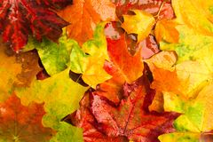 Ζωηρόχρωμο φωτεινό βροχερό υπόβαθρο σφενδάμνου φθινοπώρου Στοκ εικόνες με δικαίωμα ελεύθερης χρήσης