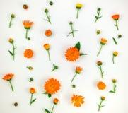 Ζωηρόχρωμο φωτεινό σχέδιο των πορτοκαλιών λουλουδιών calendula στο άσπρο υπόβαθρο Επίπεδος βάλτε Στοκ Φωτογραφία