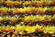 Ζωηρόχρωμο φύλλα croton ή variegatum Codiaeum Στοκ Εικόνες
