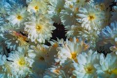 Ζωηρόχρωμο χρυσάνθεμο στον κήπο φθινοπώρου Στοκ Εικόνες