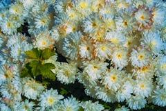 Ζωηρόχρωμο χρυσάνθεμο στον κήπο Στοκ εικόνες με δικαίωμα ελεύθερης χρήσης