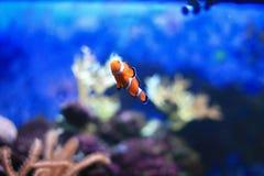 Ζωηρόχρωμο anemonefish Στοκ Φωτογραφία