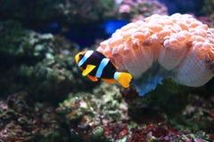 Ζωηρόχρωμο anemonefish Στοκ φωτογραφίες με δικαίωμα ελεύθερης χρήσης