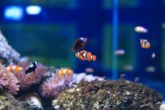 Ζωηρόχρωμο anemonefish Στοκ Φωτογραφίες