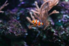 Ζωηρόχρωμο anemonefish Στοκ Εικόνες