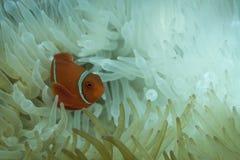 Ζωηρόχρωμο anemonefish Στοκ φωτογραφία με δικαίωμα ελεύθερης χρήσης