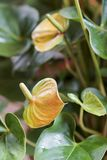 Ζωηρόχρωμο Anthurium κόκκινο και κίτρινο Στοκ Εικόνες