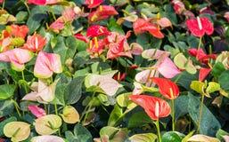 Ζωηρόχρωμο Anthurium λουλούδι Στοκ Φωτογραφίες