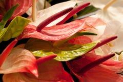 Ζωηρόχρωμο anthurium Στοκ Εικόνες