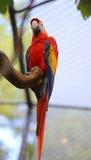 ζωηρόχρωμο ara παπαγάλων με το μακρύ ράμφος Στοκ Φωτογραφία