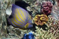 Ζωηρόχρωμο Bluering angelfish στην κοραλλιογενή ύφαλο Στοκ Φωτογραφίες