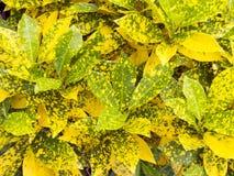 Ζωηρόχρωμο Croton Στοκ Φωτογραφία