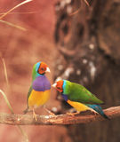 ζωηρόχρωμο finch πουλιών gouldian δέντ& Στοκ εικόνα με δικαίωμα ελεύθερης χρήσης