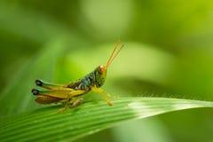 Ζωηρόχρωμο grasshopper Στοκ φωτογραφία με δικαίωμα ελεύθερης χρήσης