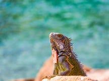 Ζωηρόχρωμο Iguana που κοιτάζει από τους βράχους Στοκ Εικόνα
