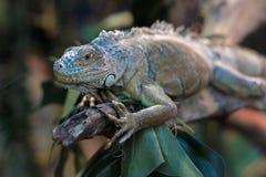 Ζωηρόχρωμο iguana σε έναν κλάδο δέντρων Στοκ φωτογραφία με δικαίωμα ελεύθερης χρήσης