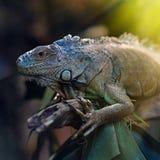 Ζωηρόχρωμο iguana σε έναν κλάδο δέντρων Στοκ Εικόνες