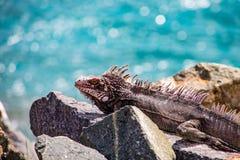 Ζωηρόχρωμο Iguana στους βράχους Στοκ φωτογραφία με δικαίωμα ελεύθερης χρήσης