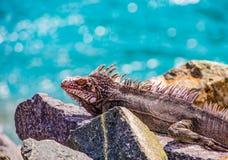 Ζωηρόχρωμο Iguana στους βράχους Στοκ Εικόνες