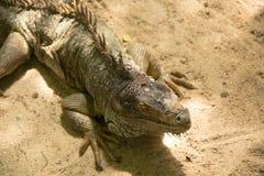 Ζωηρόχρωμο iguana στο αγρόκτημα στον κόσμο σαφάρι Στοκ εικόνες με δικαίωμα ελεύθερης χρήσης