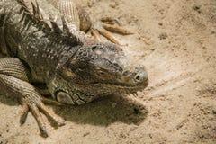 Ζωηρόχρωμο iguana στο αγρόκτημα στον κόσμο σαφάρι Στοκ Φωτογραφία