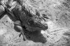 Ζωηρόχρωμο iguana στο αγρόκτημα στον κόσμο σαφάρι Στοκ Εικόνες
