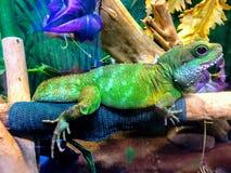 Ζωηρόχρωμο iguana Στοκ Φωτογραφία