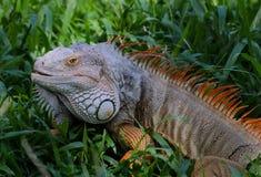 Ζωηρόχρωμο Iguana Στοκ εικόνα με δικαίωμα ελεύθερης χρήσης