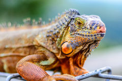 Ζωηρόχρωμο Iguana Στοκ φωτογραφία με δικαίωμα ελεύθερης χρήσης