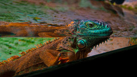 Ζωηρόχρωμο iguana Στοκ Εικόνα