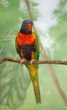 ζωηρόχρωμο lorikeet πουλιών στοκ εικόνα