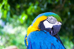 Ζωηρόχρωμο Macaw χαλαρώνει τη δράση στο φυσικό κλίμα Στοκ Εικόνα