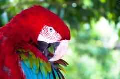 Ζωηρόχρωμο Macaw χαλαρώνει τη δράση στο φυσικό κλίμα Στοκ φωτογραφίες με δικαίωμα ελεύθερης χρήσης