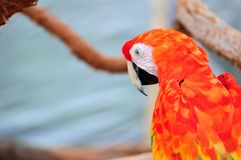 Ζωηρόχρωμο macaw Ara Μακάο Στοκ Φωτογραφίες