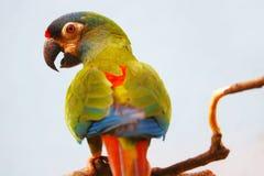 Ζωηρόχρωμο maracana primolius παπαγάλων maracana κατά την πίσω άποψη που σκαρφαλώνει σε έναν κλάδο μπροστά από ένα γκρίζο υπόβαθρ Στοκ Εικόνες