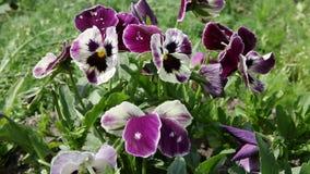 Ζωηρόχρωμο pansy λουλούδι viola tricolor φιλμ μικρού μήκους