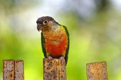 Ζωηρόχρωμο Parakeet που βρίσκεται στο ζωολογικό κήπο πάρκων πουλιών Στοκ Εικόνες